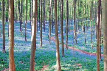 bluebell hyacinths in hallerbos belgium