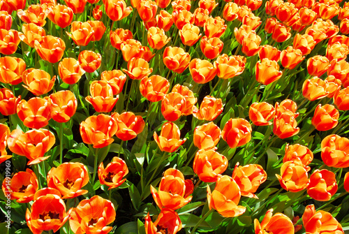 tulip background in keukenhof holland