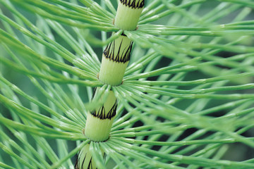 Horsetail Stem, close up Equisetum