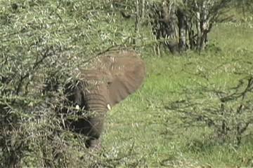 Baby elephant running back to mom