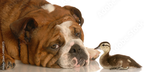english bulldog with baby mallard duck