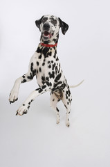 Dalmatian standing on hind legs, elevated view