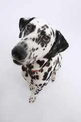 Dalmatian, elevated view