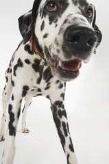Dalmatian standing, close-up
