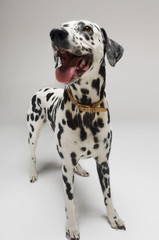 Dalmatian standing, looking up, mouth open