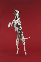 Dalmatian jumping, mid-air