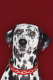 Dalmatian looking up, close-up