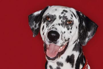 Dalmatian, close-up, mouth open