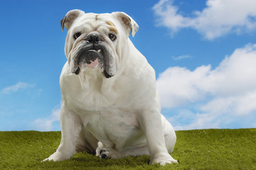 Bulldog, sitting