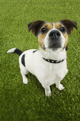 Jack Russell terrier, standing, looking up, elevated view