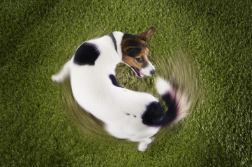 Jack Russell terrier chasing tail, view from above