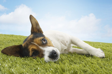 Jack Russell terrier lying on side, looking up, front view