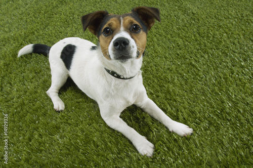 Jack Russell terrier lying prone, elevated view
