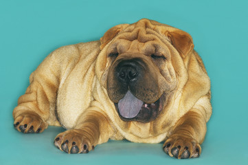 Shar-pei lying down with tongue out