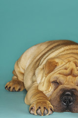 Shar-pei lying down, front view