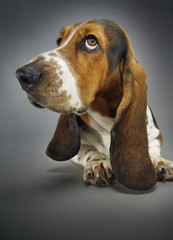 Basset hound, close-up