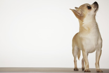Chihuahua standing, looking up, front view