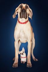 Brazilian mastiff Fila brasileiro standing over Chihuahua, front view