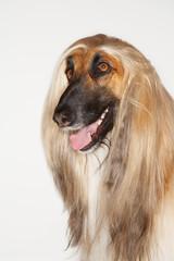 Afghan hound, close-up