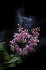 smoke and lilac on black background