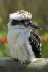 Laughing Kookaburra Bird (Dacelo Novaeguineae)