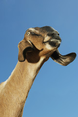 Nubian, or lop-eared, goat, close-up