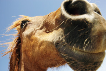Brown horse against sky, close-up of snout