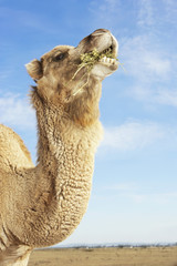 Camel in field, eating, side view of neck and head