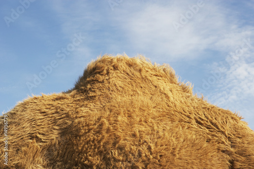Camel against sky, side view of hump