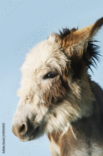 Donkey against blue background, close-up of head, side view