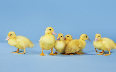 Small group of ducklings on blue background