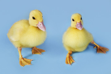Two ducklings on blue background, close-up