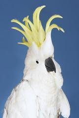 Cockatoo on blue background