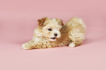 Small brown dog on pink background
