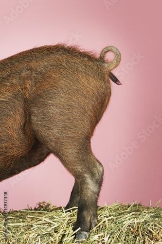 Rear end of pig on pink background, side view