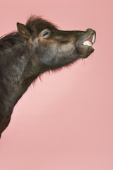 Whinnying horse against pink background, side view of head
