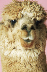 Alpaca on pink background, close-up of head, front view
