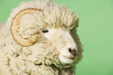 Ram on green background, close-up of head