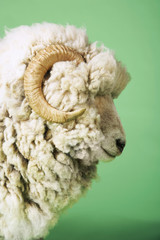 Ram on green background, side view of head