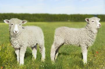Two lambs in field digital composite