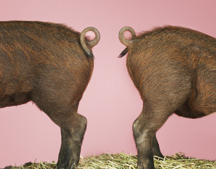 Rear ends of two brown pigs on hay against pink background, side view