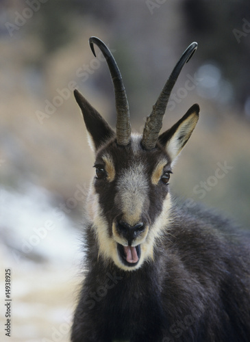 Chamois rupicapra rupicapra, head and shoulders