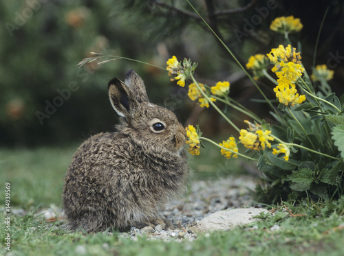 Young hare eating yellow clover