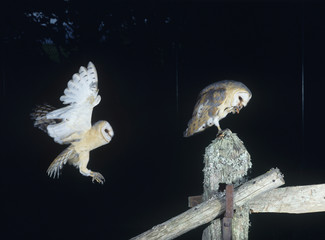 Barn owls perching on fence post