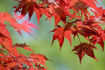 feuilles rouge