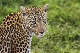 Close-up of leopard Panthera pardus looking at camera