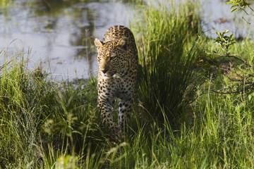 Leopard Panthera pardus walking in grass