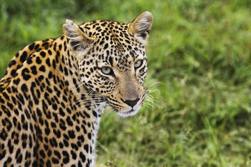 Close-up of leopard Panthera pardus looking at camera