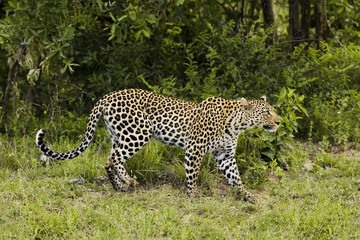 Leopard Panthera pardus, side view