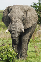 Adult African elephant, close-up